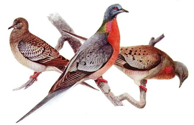 Another victim of the Anthropocene: the passenger pigeon (Louis Agassiz Fuertes, c.1910-1914)